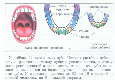 Почему зубы не растут у взрослых