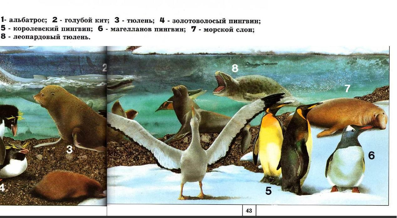 Здесь же магелланова пингвина
