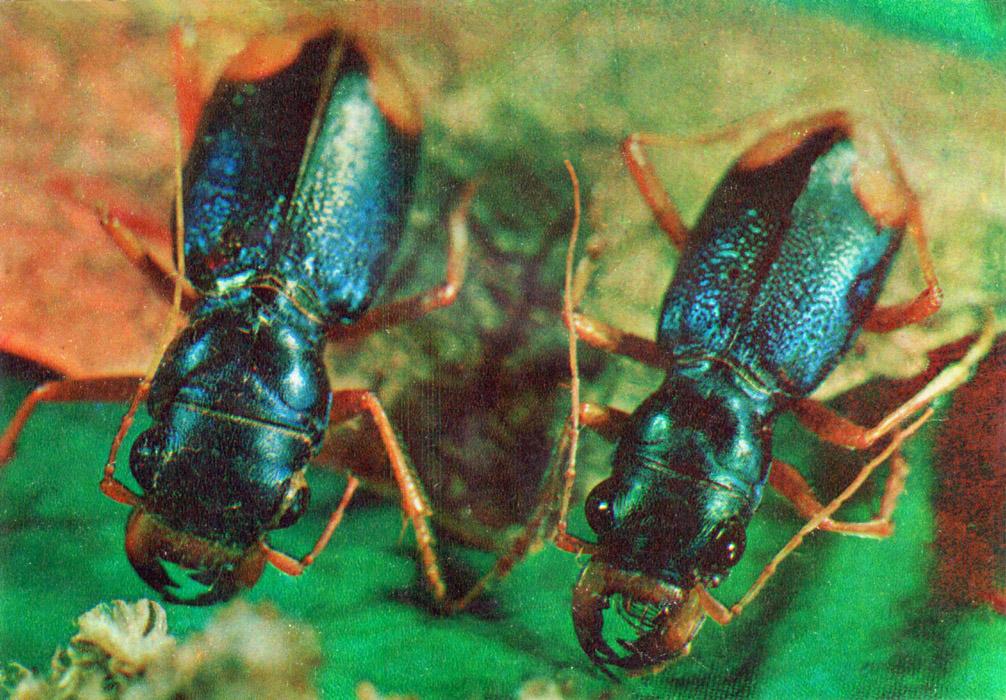 ночной жук фото